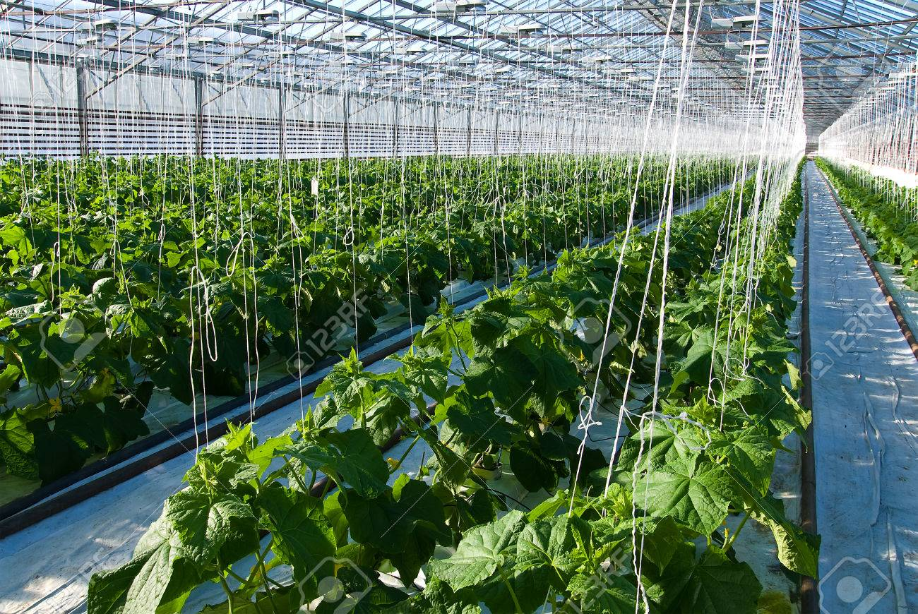 A shot of cucumber plants growing inside a greenhouse - 27294158