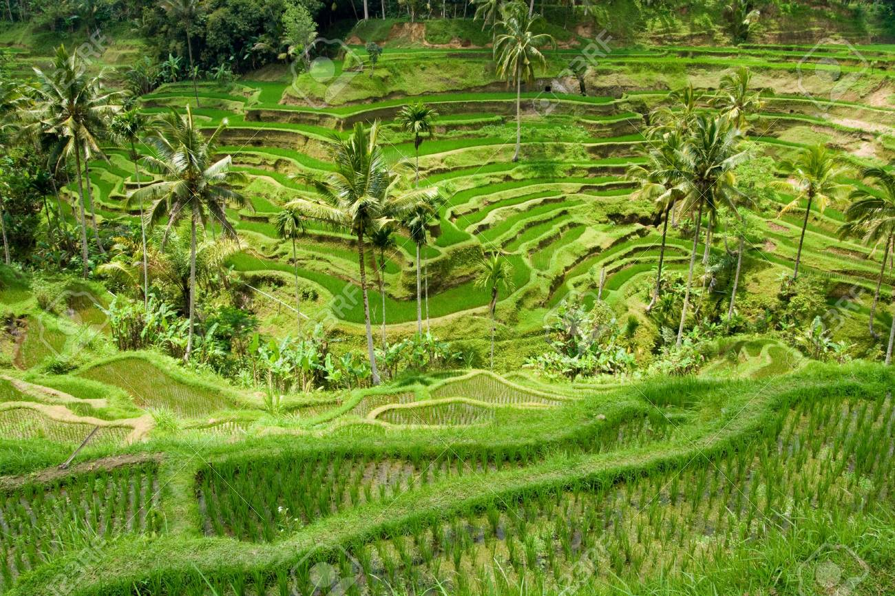 Green classic rice terraces in Indonesia (Bali) Stock Photo - 3763447