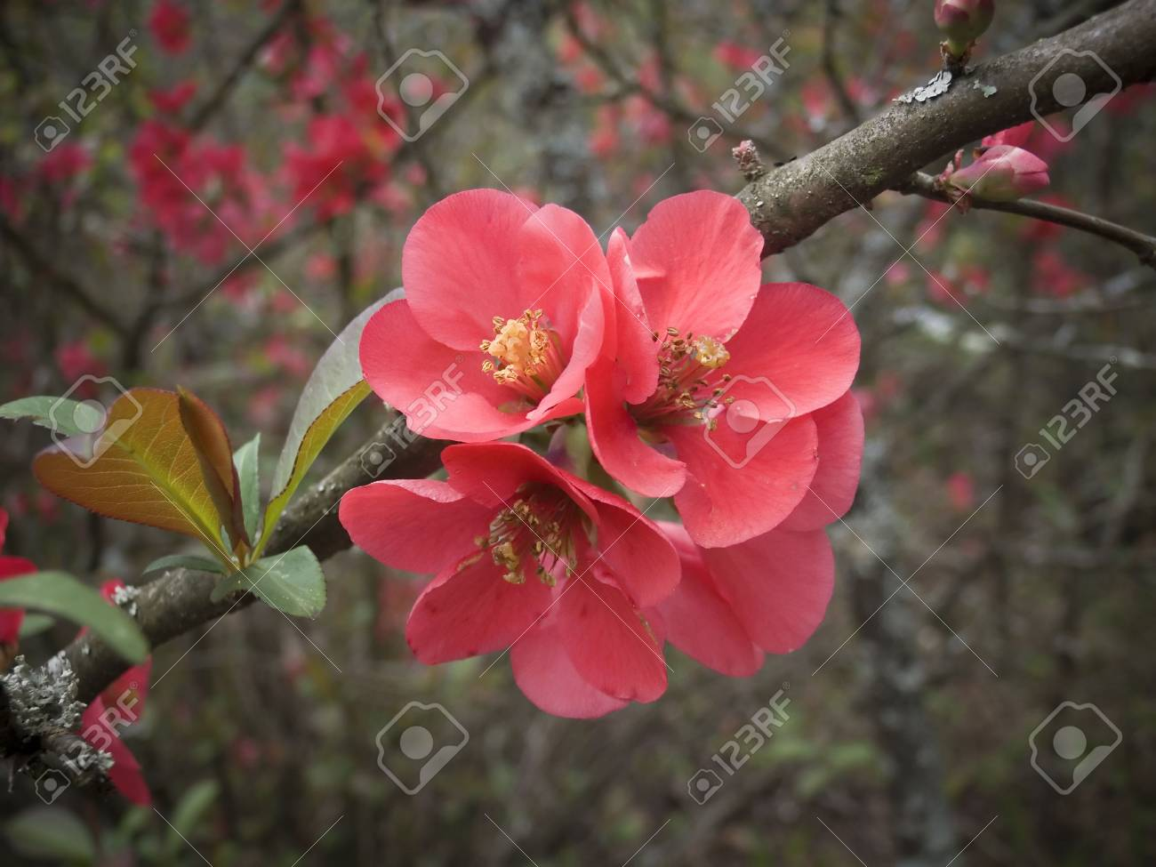 pink blossoms Stock Photo - 4807217