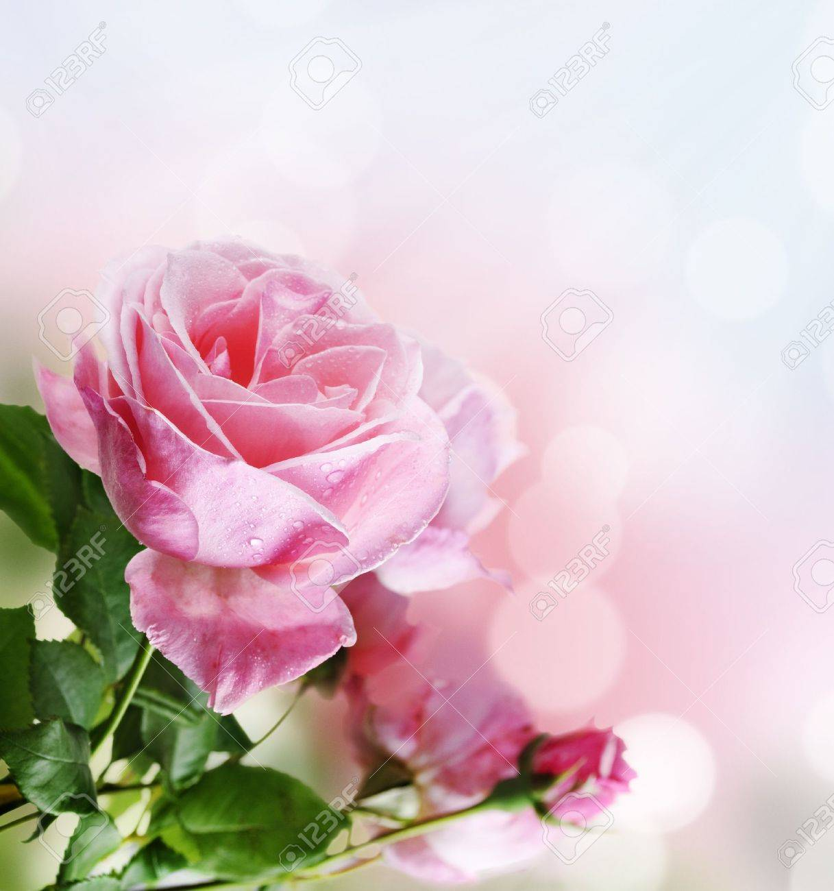 Beautiful pink rose in the garden Stock Photo - 13846051