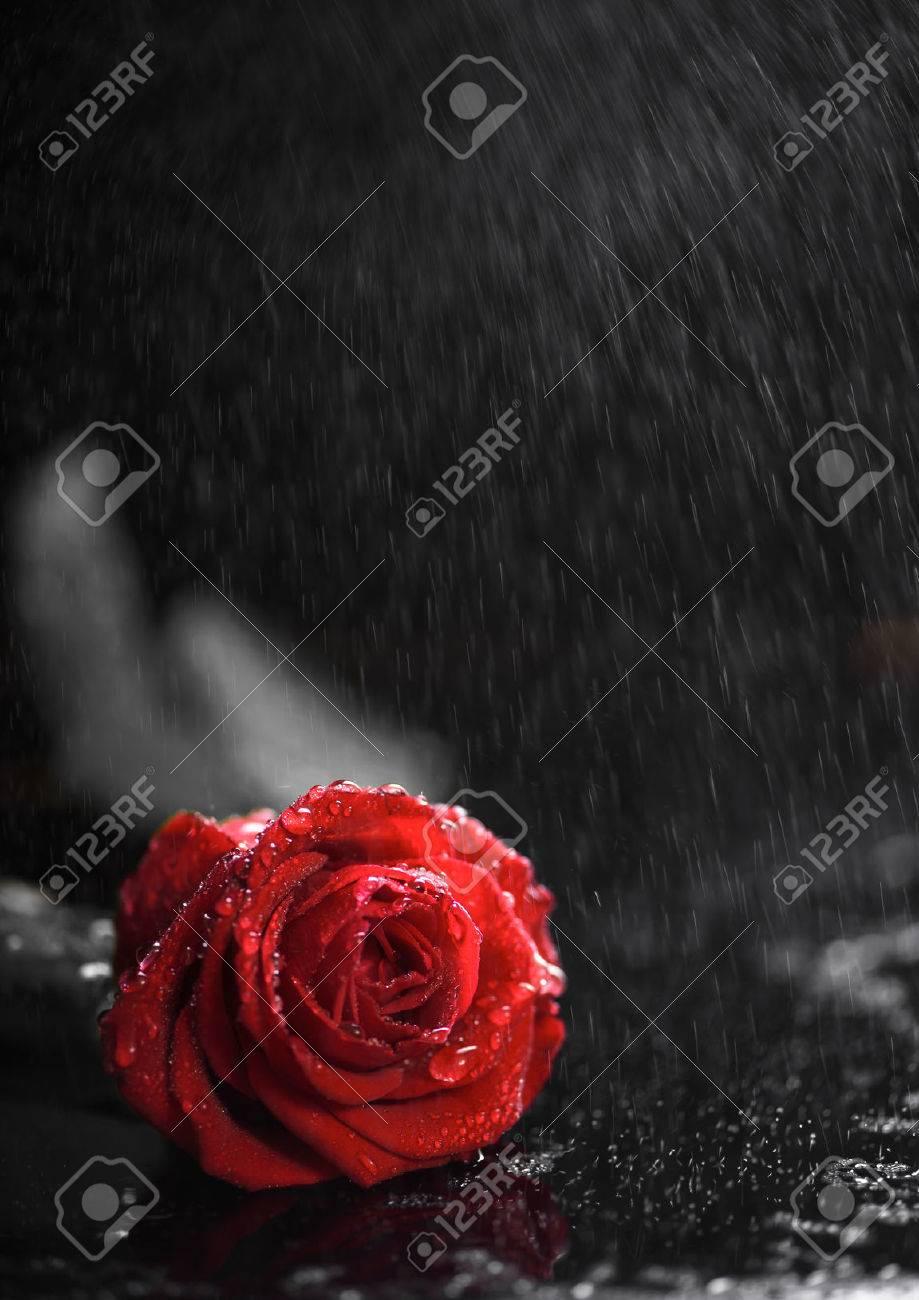 Beautiful red rose on the rain stock photo picture and royalty free beautiful red rose on the rain stock photo 52377237 izmirmasajfo