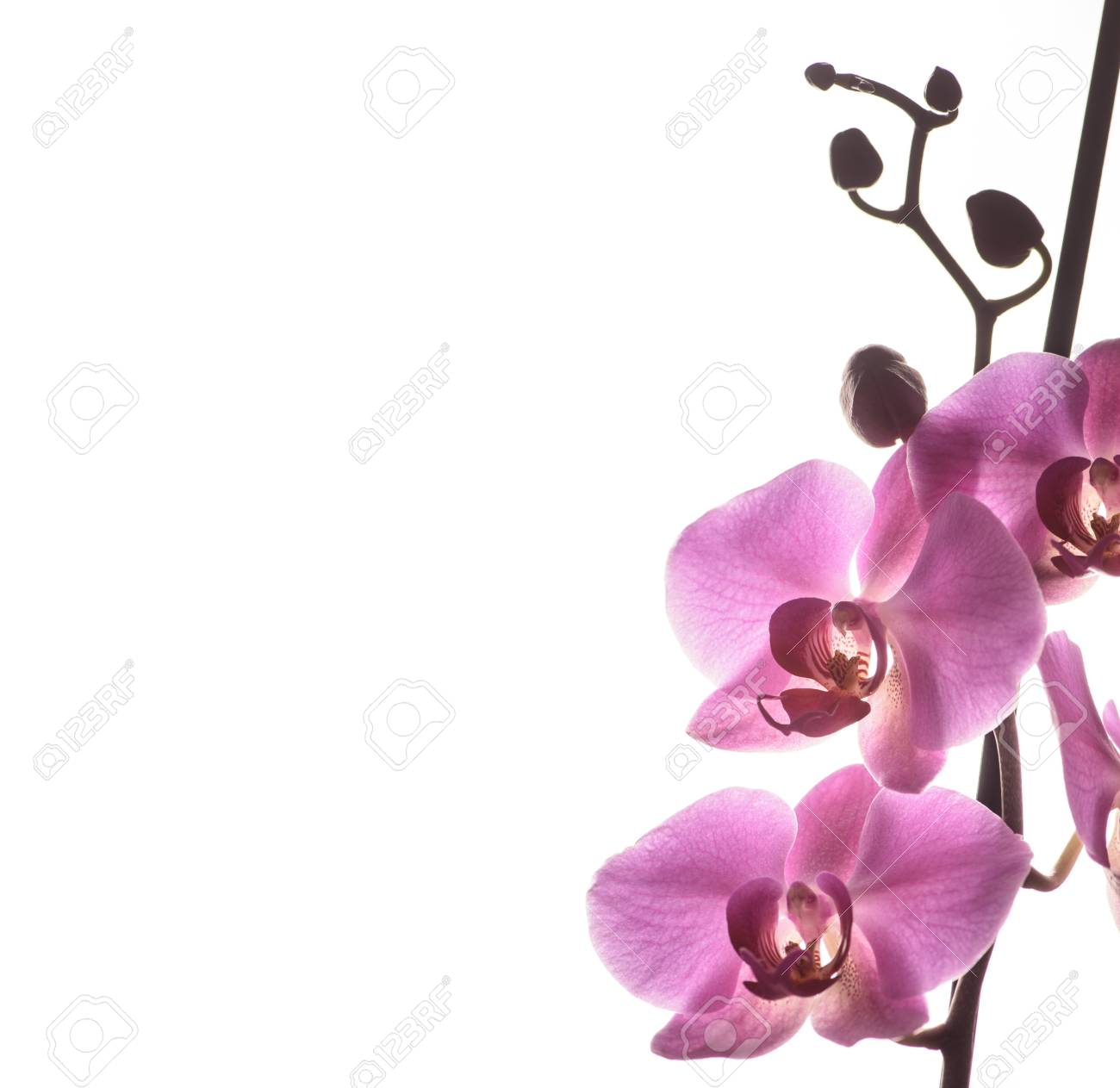 Beautiful Pink Orchid Flower Isolated Over White Background With