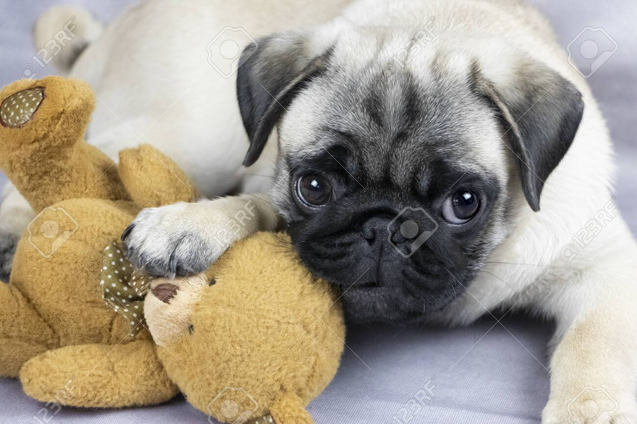 Funny Pug Puppy Playing With A Soft Toy Close Up Stock Photo Picture And Royalty Free Image Image 118818075