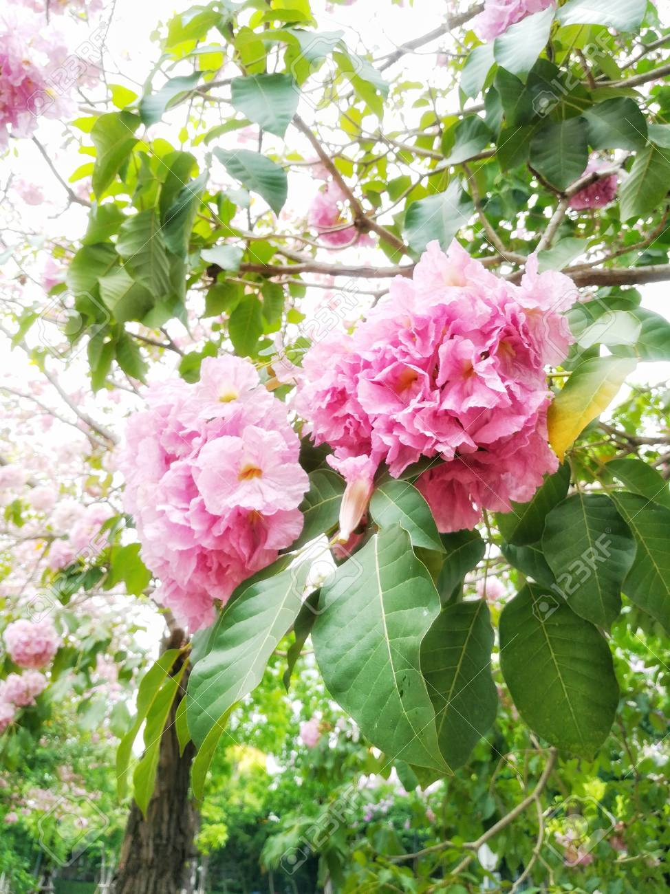 Cluster Of Pink Trumpet Flowers Stock Photo Picture And Royalty