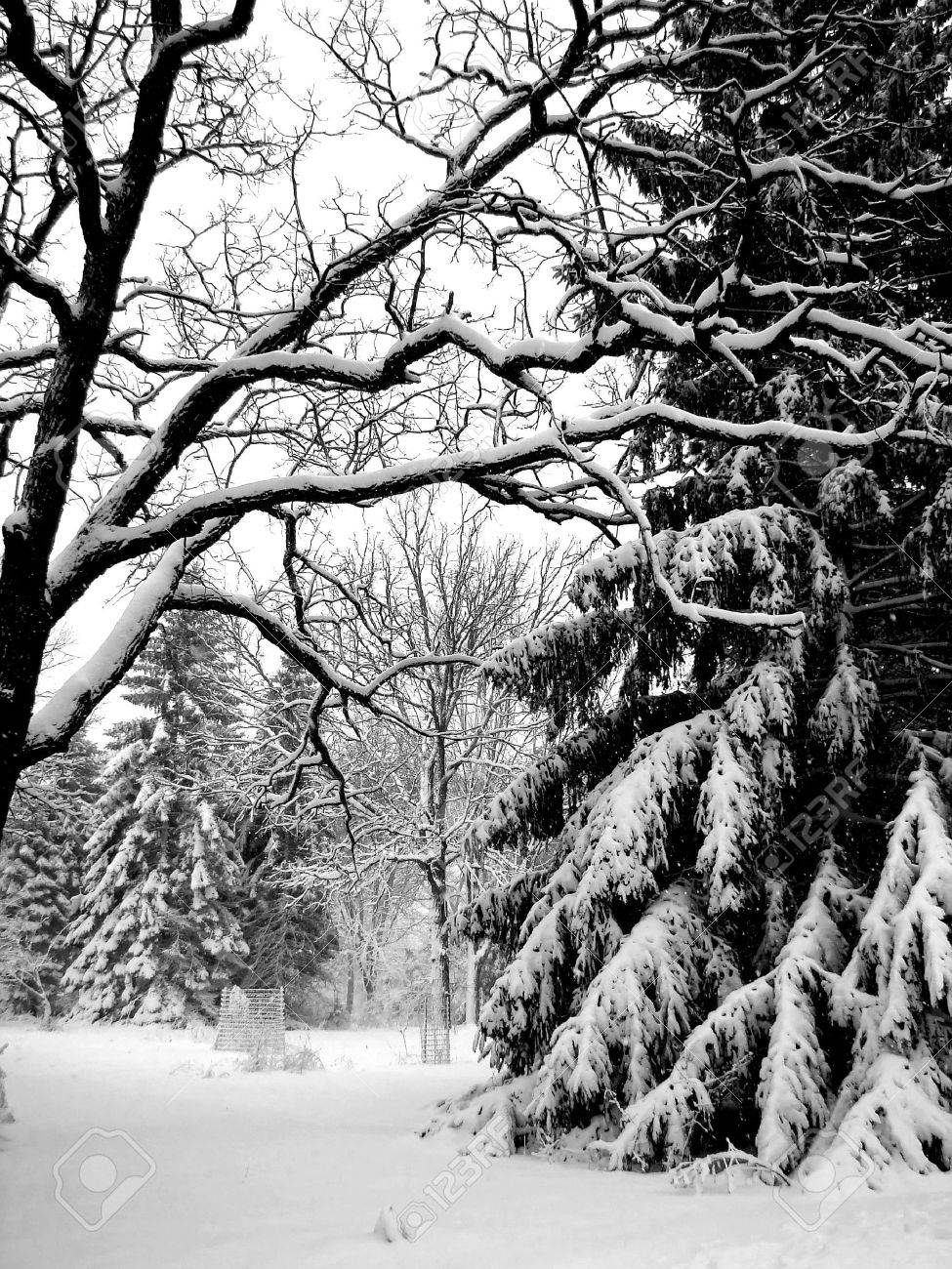 Royalty free photo of snowy evergreen trees