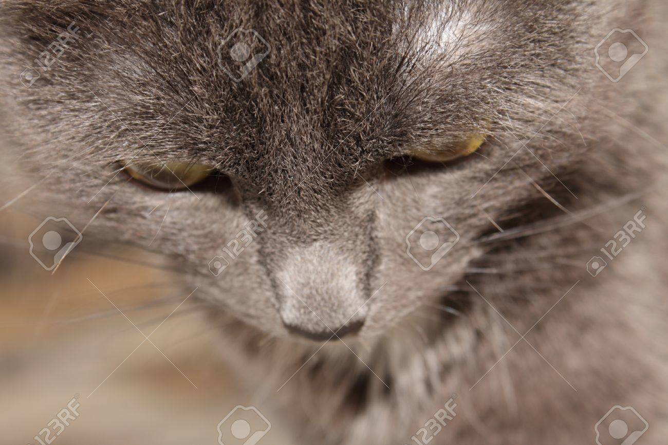 The Omission The Person Cat Breeds Russian Blue Stock