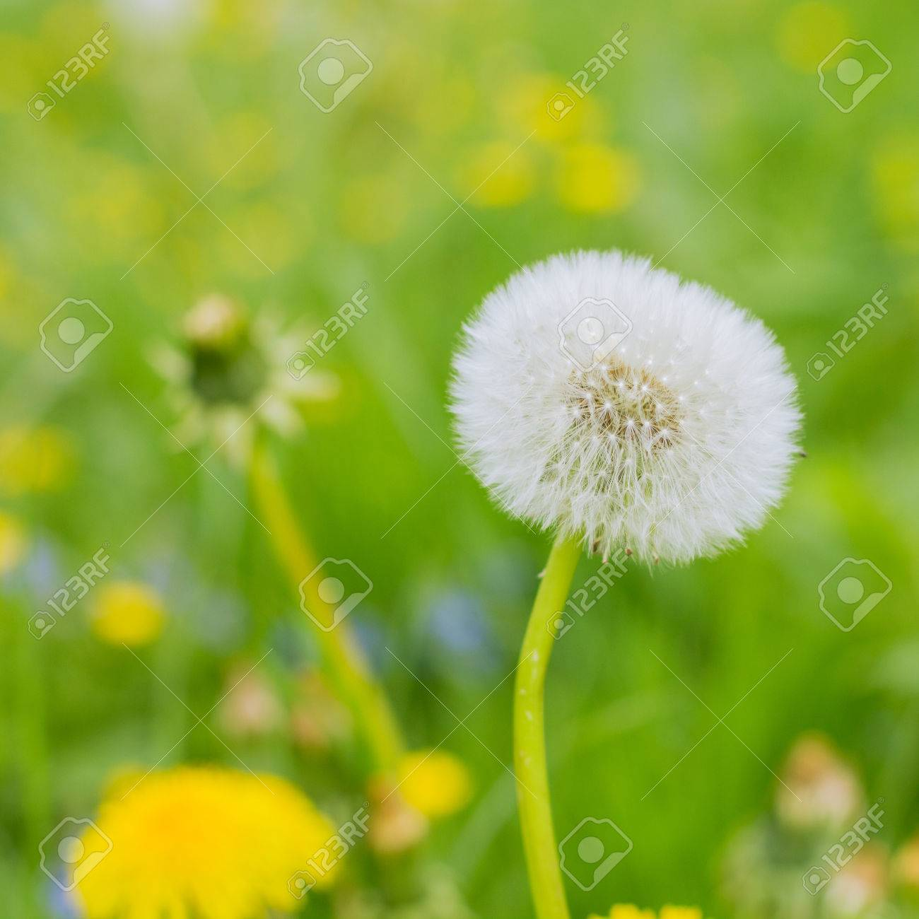 Spring Flowers Dandelions at beautiful sunny day. - 46976714