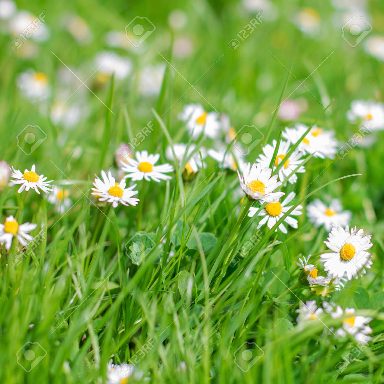 Spring flowers daisies at beautiful sunny day stock photo picture spring flowers daisies at beautiful sunny day stock photo 46976718 izmirmasajfo