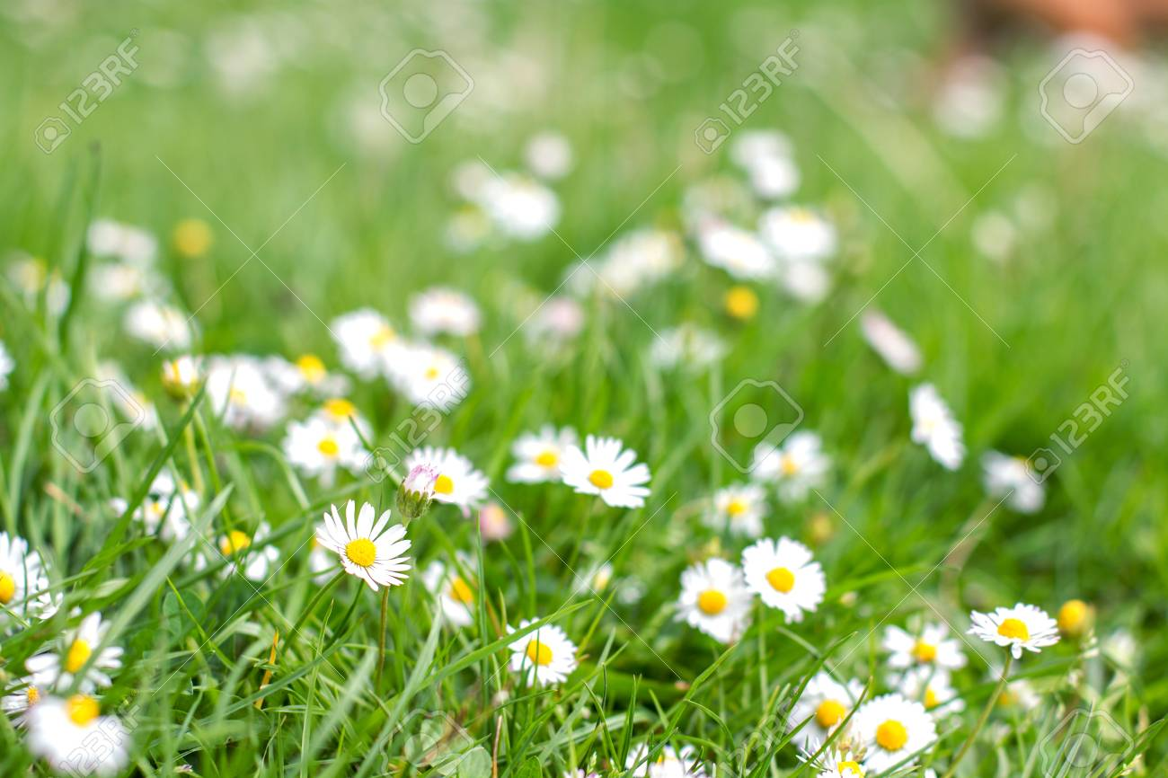 Spring flowers daisies at beautiful sunny day stock photo picture spring flowers daisies at beautiful sunny day stock photo 46976849 izmirmasajfo