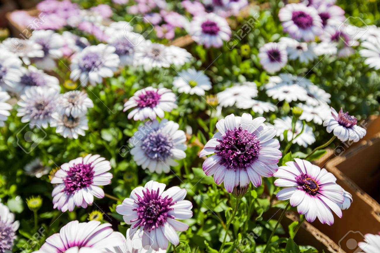 Decorative Colorful Flowers In Garden Flower And Plant Spring