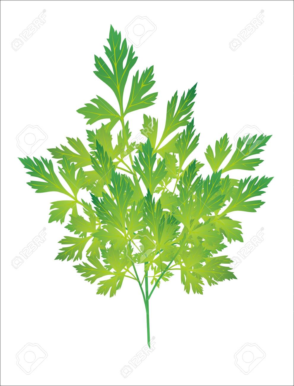 green leaves of parsley isolated on white background Stock Vector - 19394486