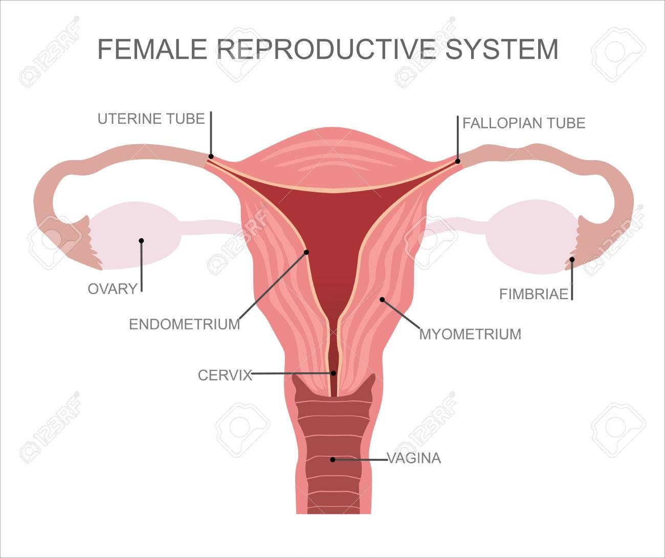 Tero Y Los Ovarios, Los órganos Del Sistema Reproductor Femenino ...
