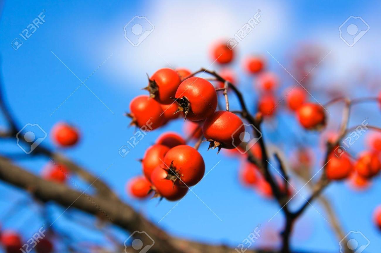Albero Con Bacche Rosse bella bacche rosse su un albero di biancospino, dopo le foglie sono cadute  fuori. l'accento è posto sui due bacche morti centro