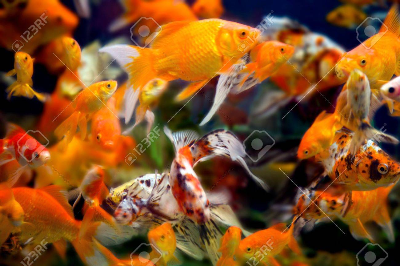 a large group of swimming goldfish in an aquarium - lots of motion and blurring some fish in focus - most are not Stock Photo - 3220807
