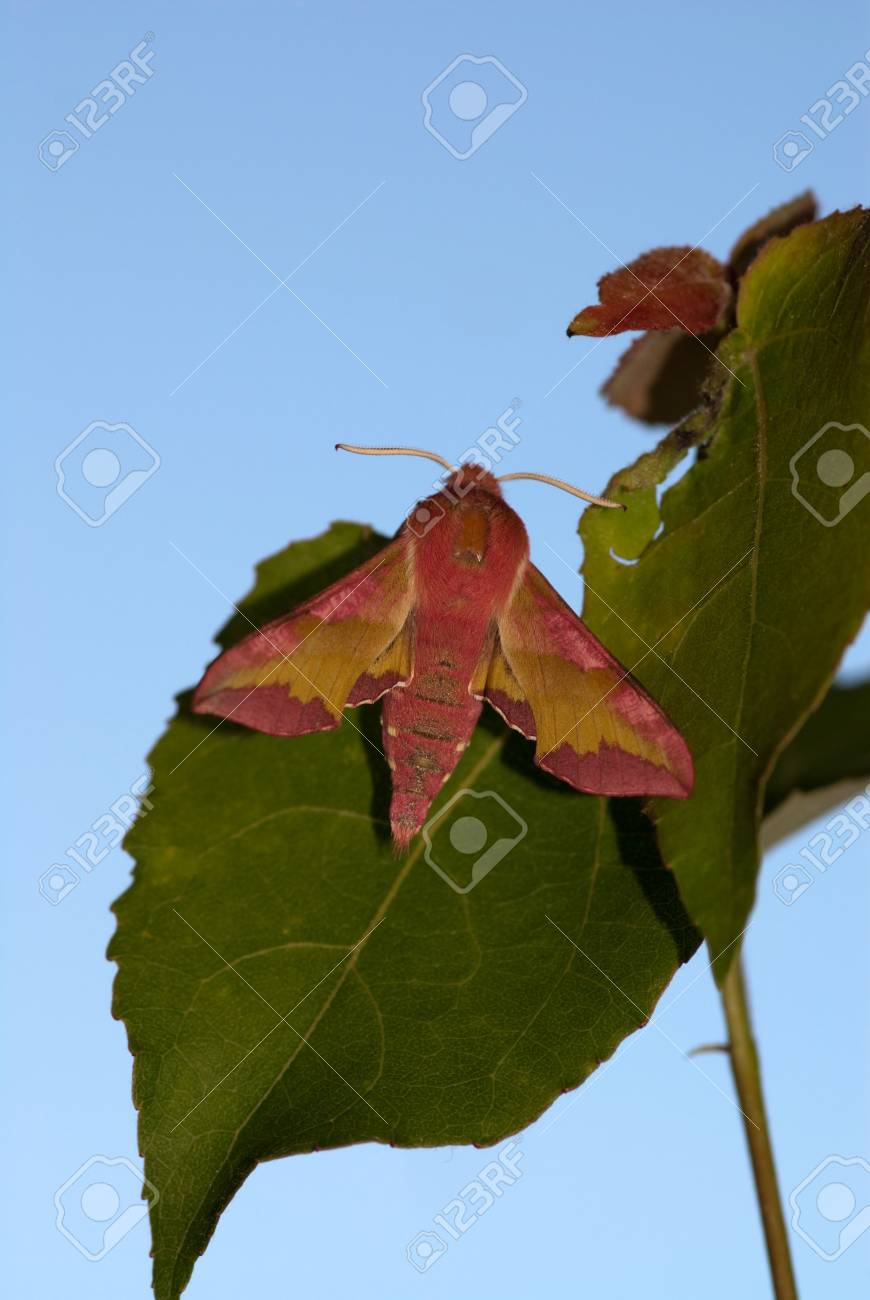 hawkmoth Deilephila porcellus sitting on the branch Stock Photo - 4422171