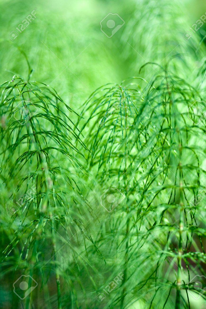 The green background of the horse-tail plants Stock Photo - 8107451