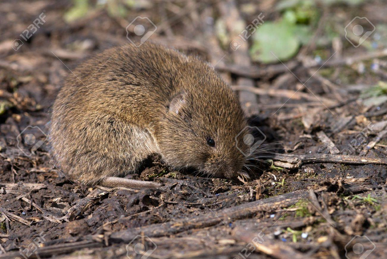 The field vole sitting on the ground Stock Photo - 9609646