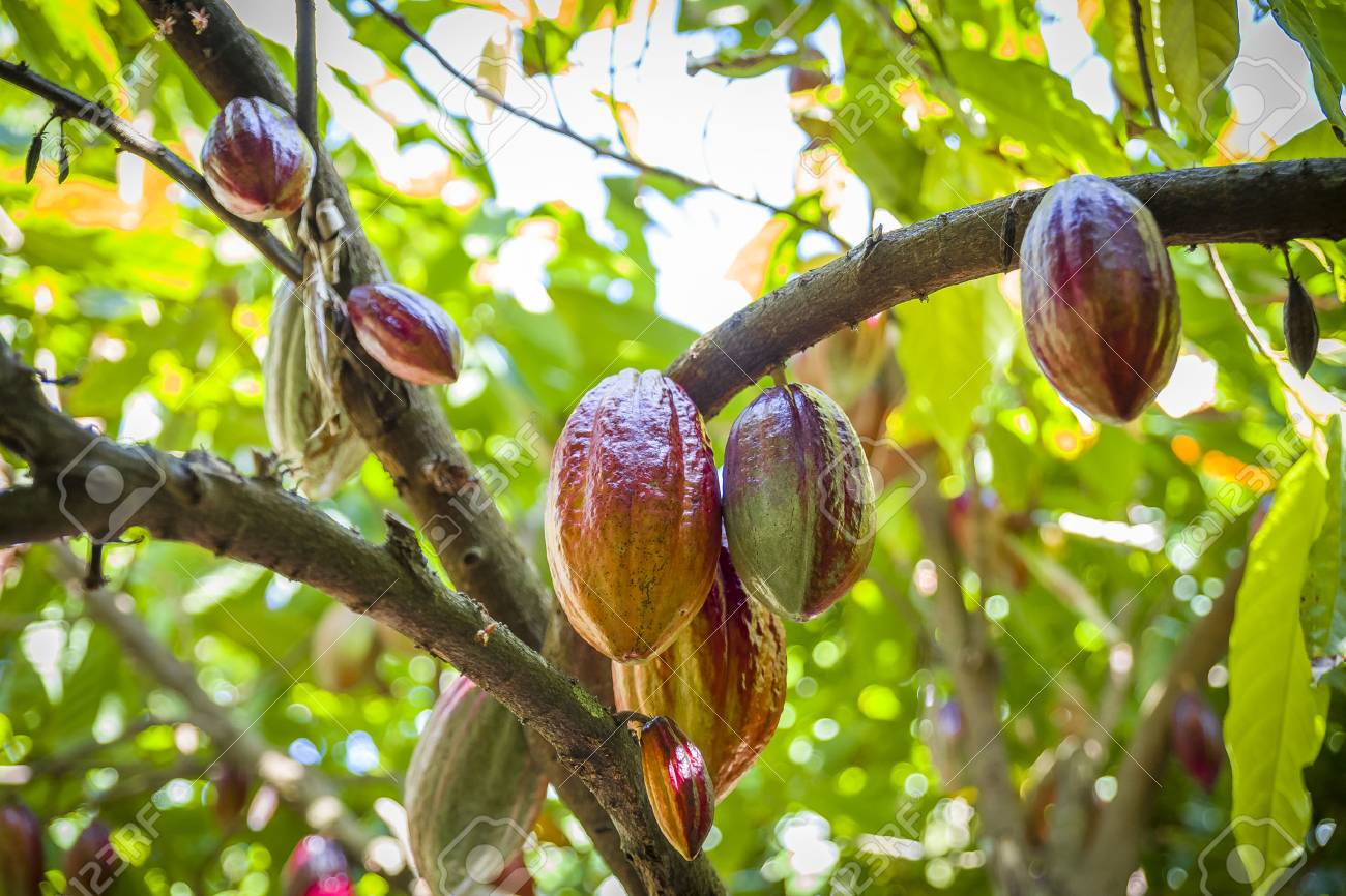 Cocoa Growing In The Caribbean - 69920667