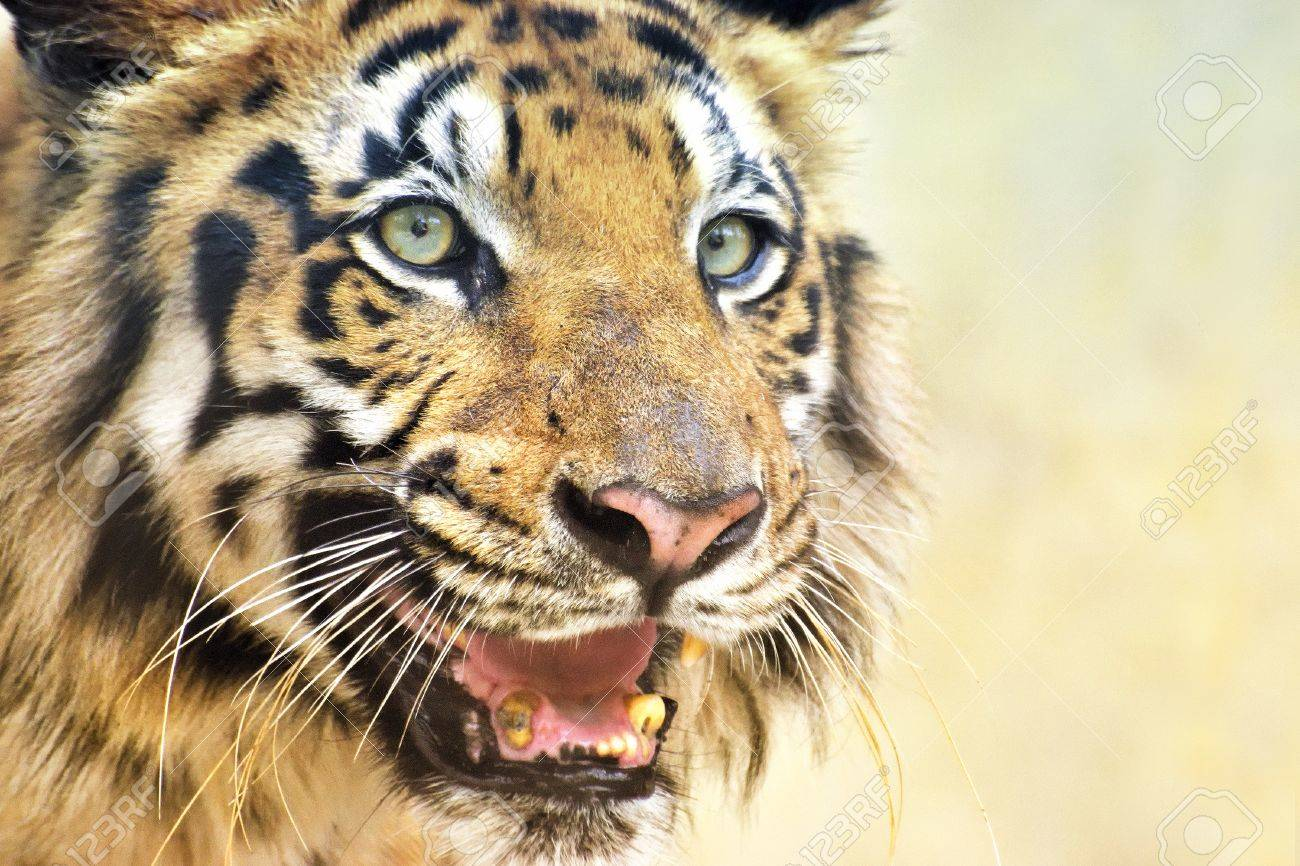 beautiful angry face of royal bengal tiger , panthera tigris