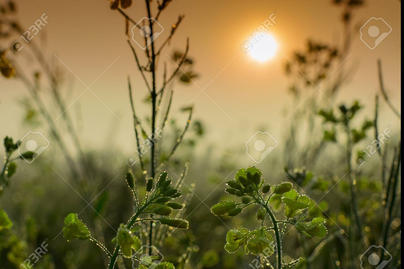 Winter Morning Dew Drops On Plants And Sun Rising In The