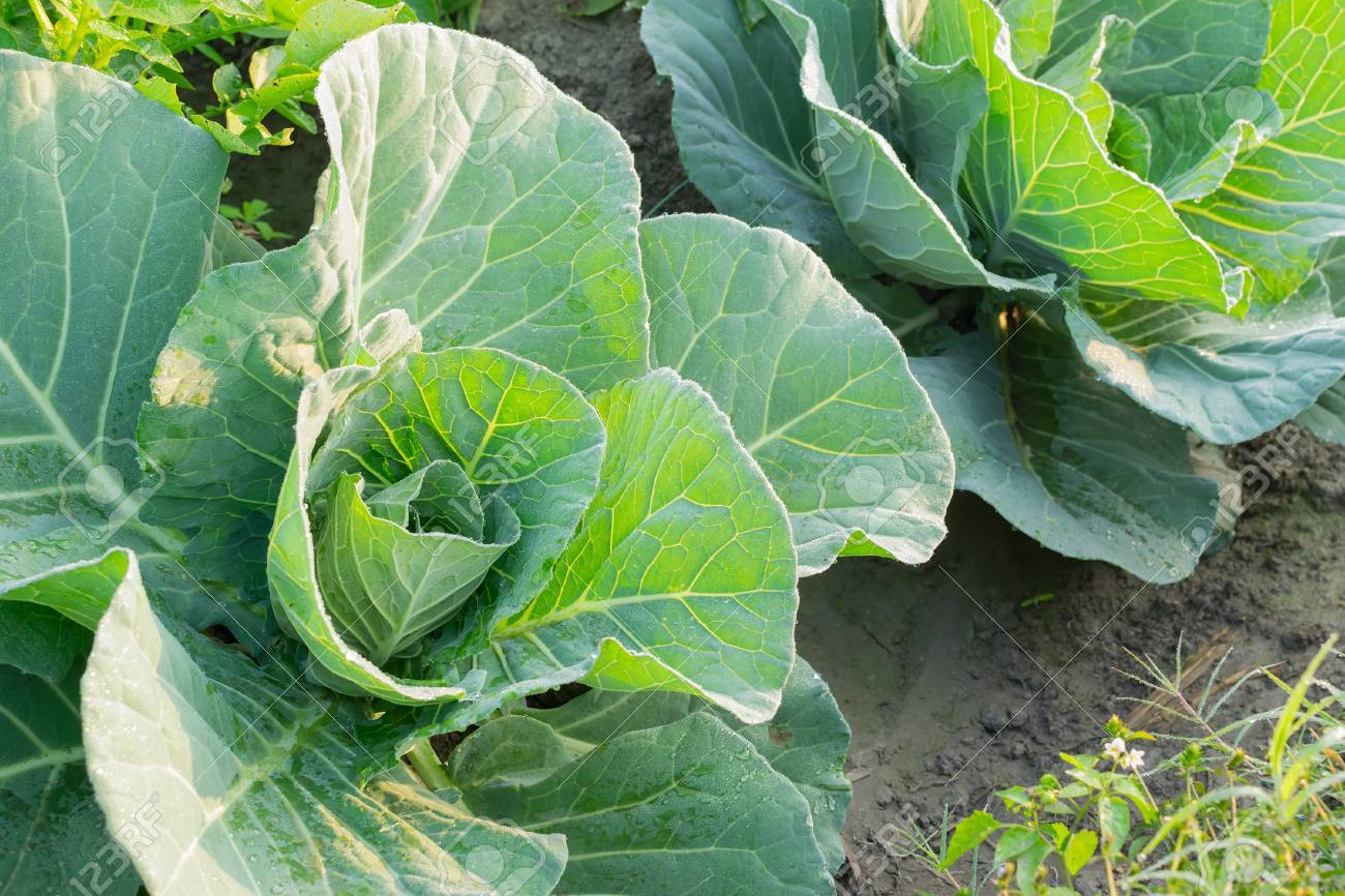 Cabbage or headed cabbage is a leafy green, biennial plant grown