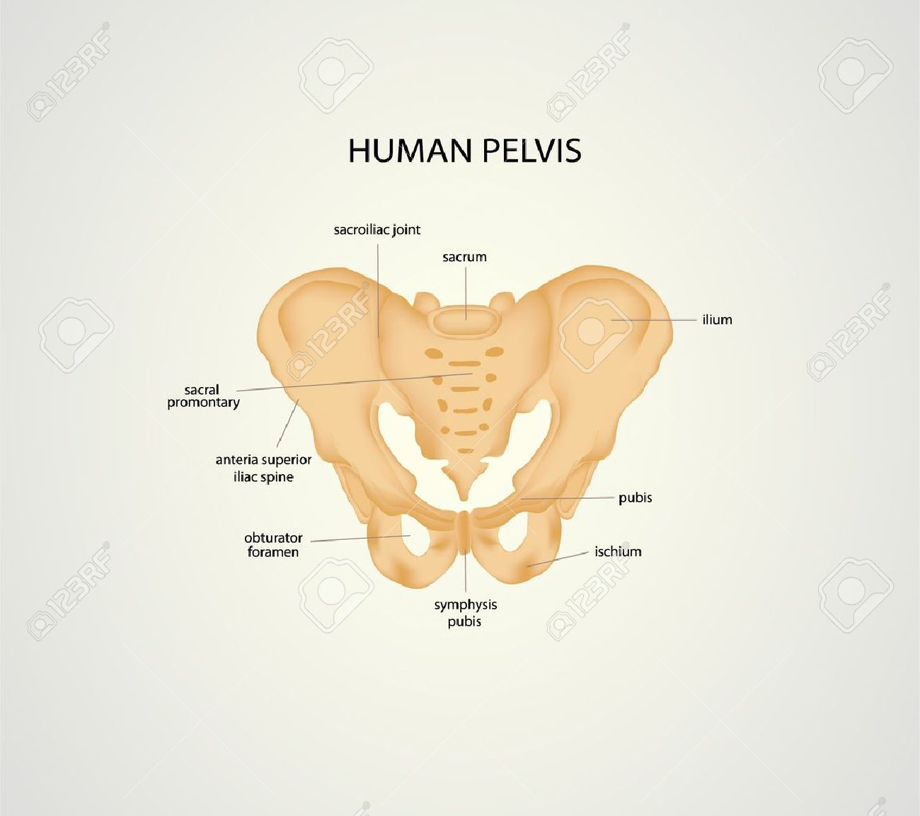 Illustration Of Human Pelvis Royalty Free Cliparts Vectors And