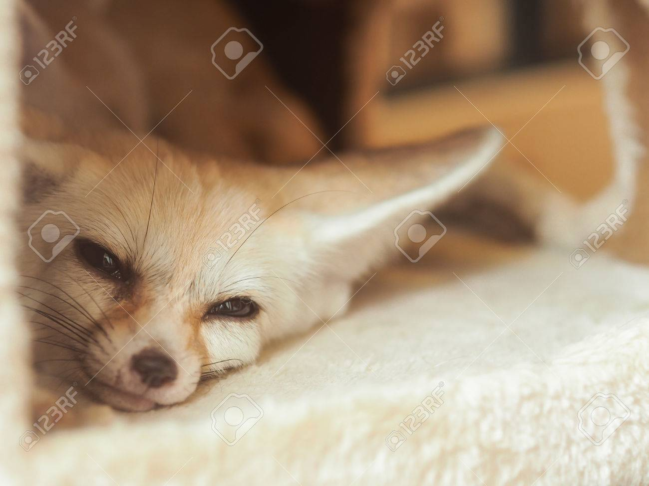 fennec fox waking up in fluffy pet house selective focus stock photo
