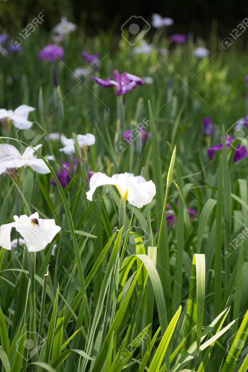 Landscape Of Iris Flower Garden Stock Photo Picture And Royalty