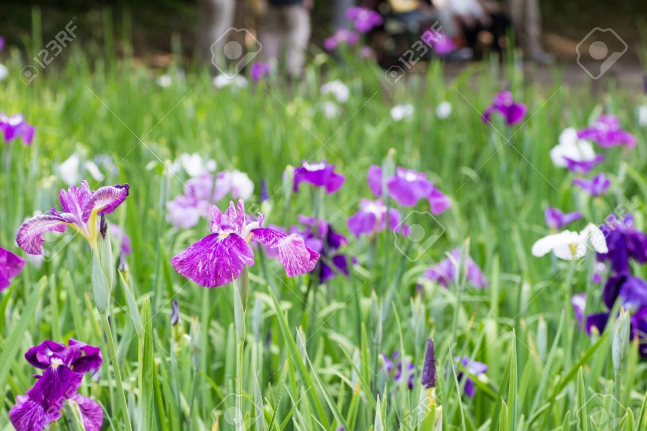 Landscape of iris flower garden stock photo picture and royalty landscape of iris flower garden stock photo 81872747 izmirmasajfo