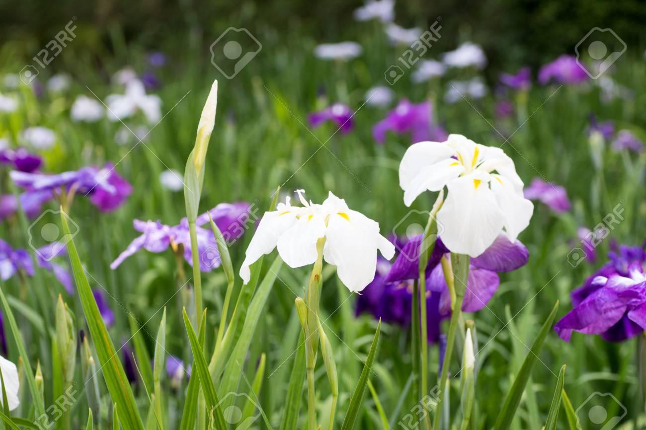 Landscape of iris flower garden stock photo picture and royalty landscape of iris flower garden stock photo 82062222 izmirmasajfo Gallery