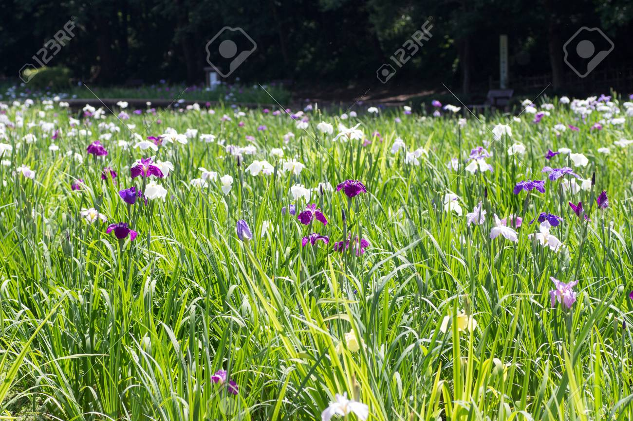Landscape of iris flower garden stock photo picture and royalty landscape of iris flower garden stock photo 81938817 izmirmasajfo Gallery