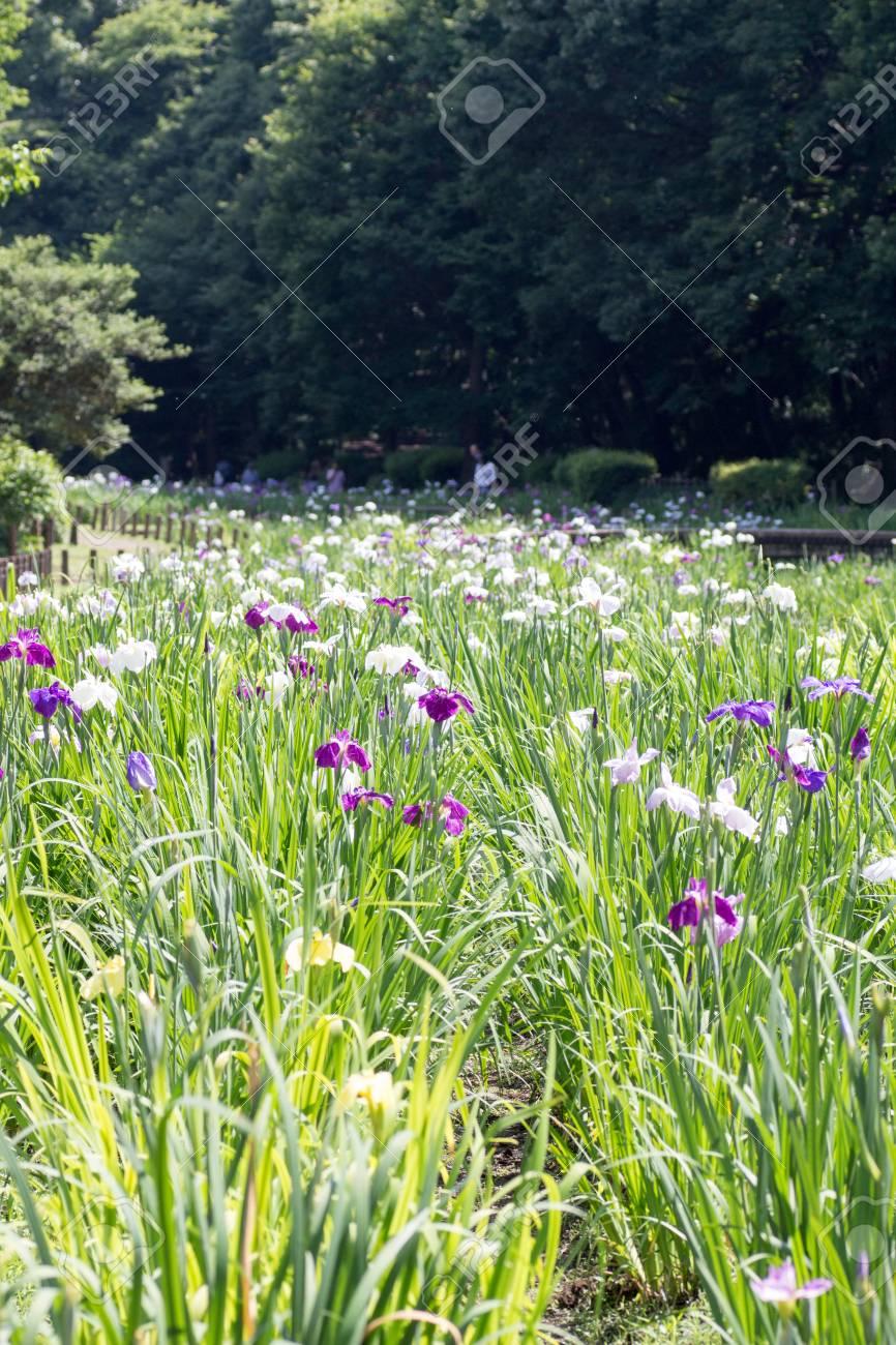 Landscape of iris flower garden stock photo picture and royalty landscape of iris flower garden stock photo 81938821 izmirmasajfo