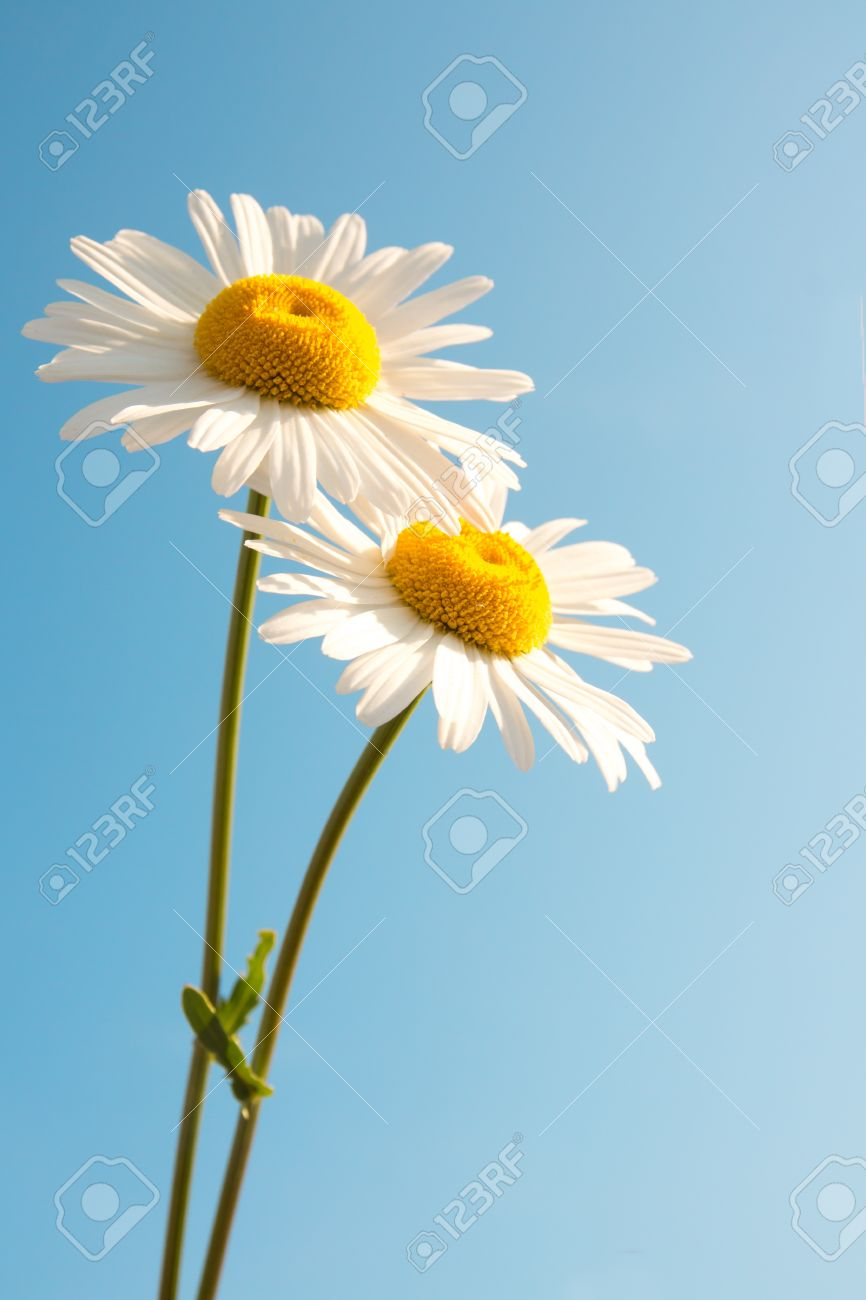 Two beautiful white flowers daisies over clear blue sky summer stock photo two beautiful white flowers daisies over clear blue sky summer concept vertical copy space izmirmasajfo Gallery