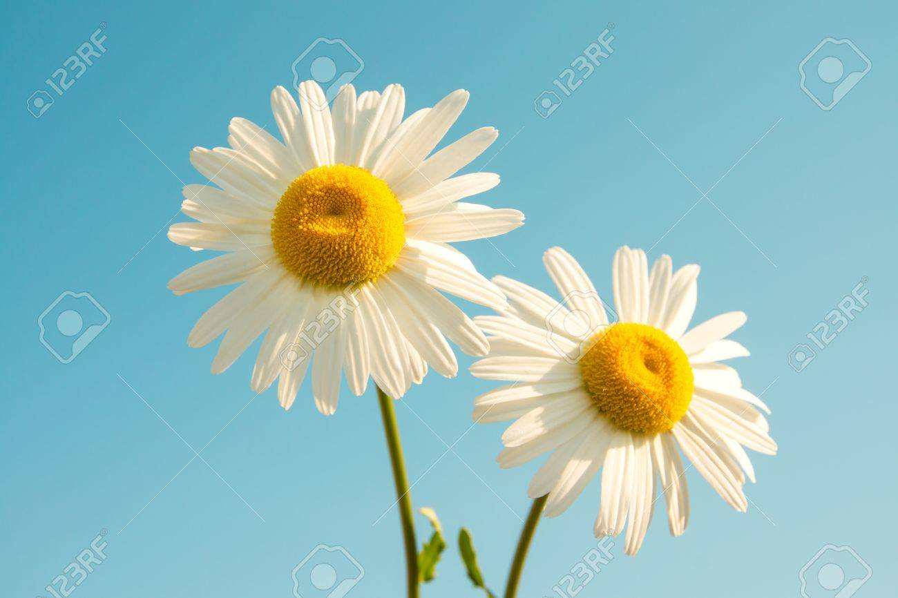 Two Daisies Stock Photos RoyaltyFree Images Vectors Shutterstock