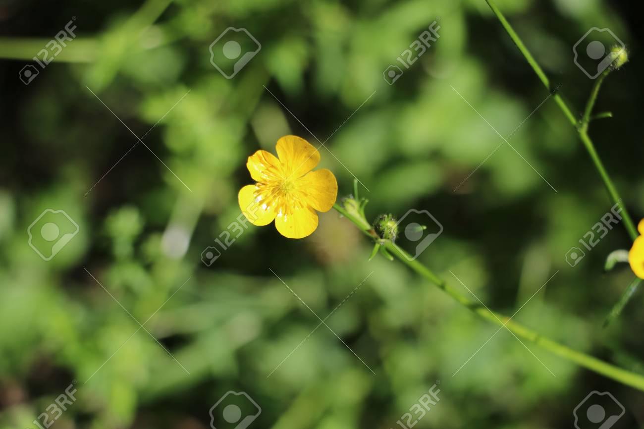 Fleur Jaune Sauvage Disponible En Haute Resolution Et En Plusieurs