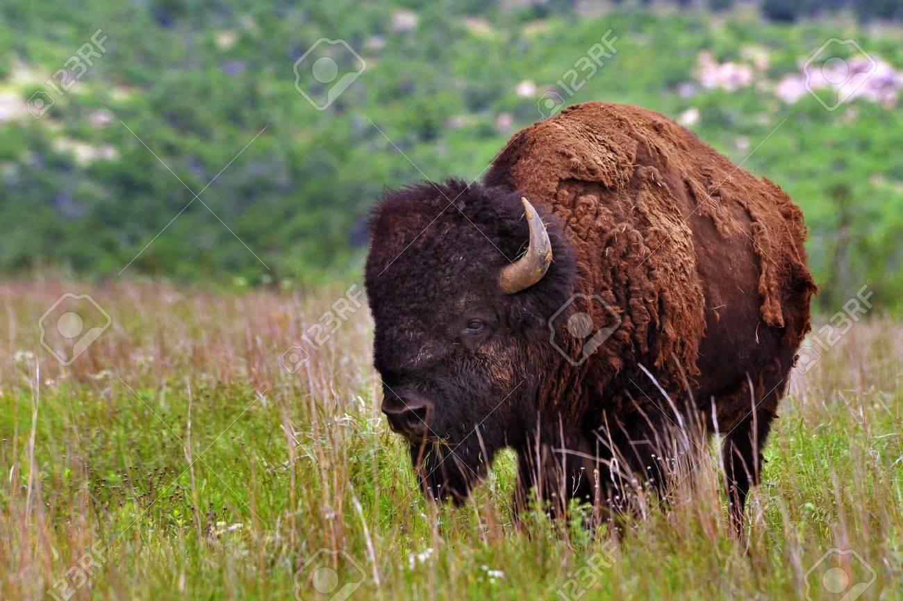 American Buffalo Stock Photo - 7118010