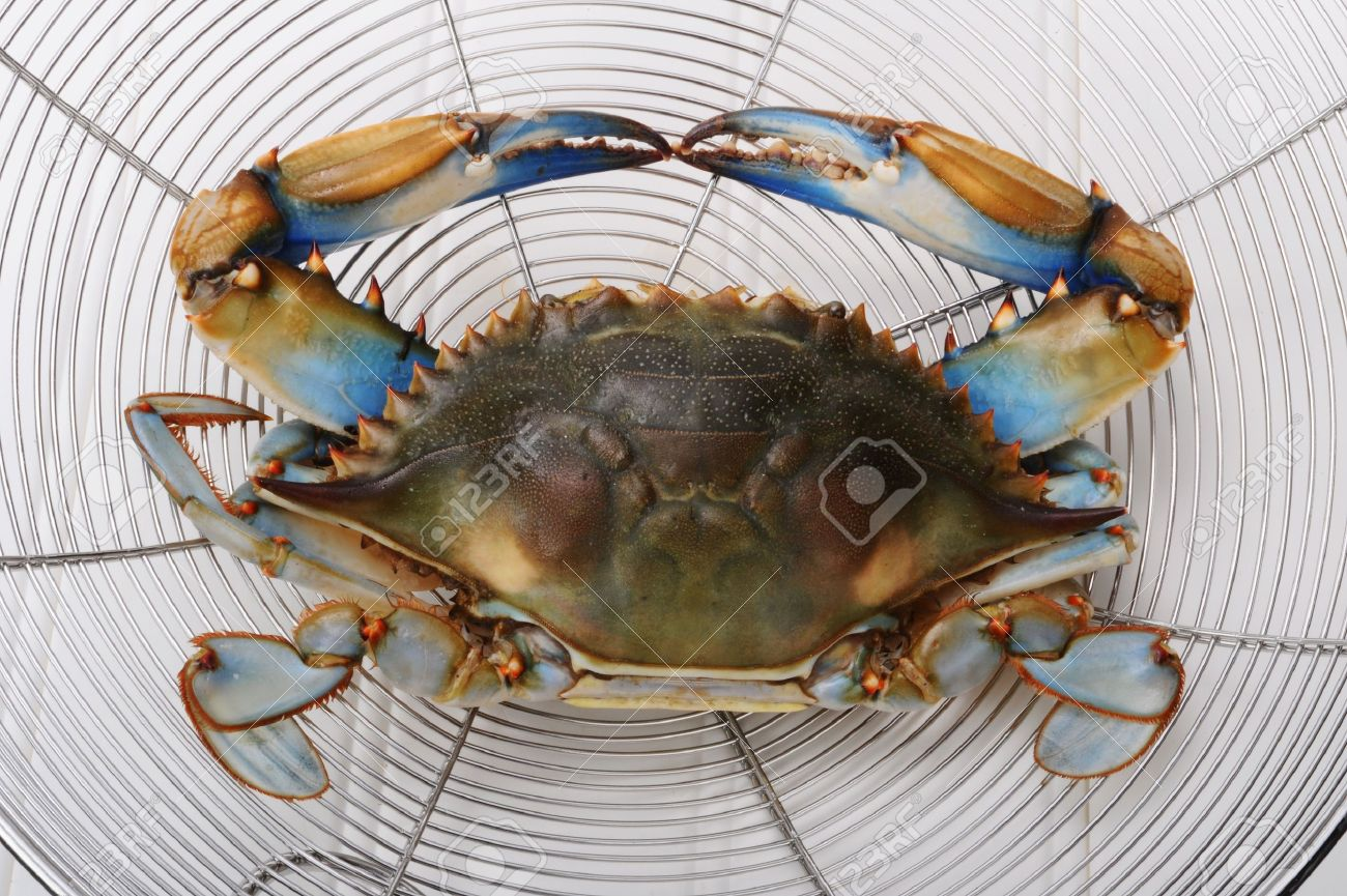 Maryland Blue Crab from the Chesapeake Bay. Stock Photo - 8002283