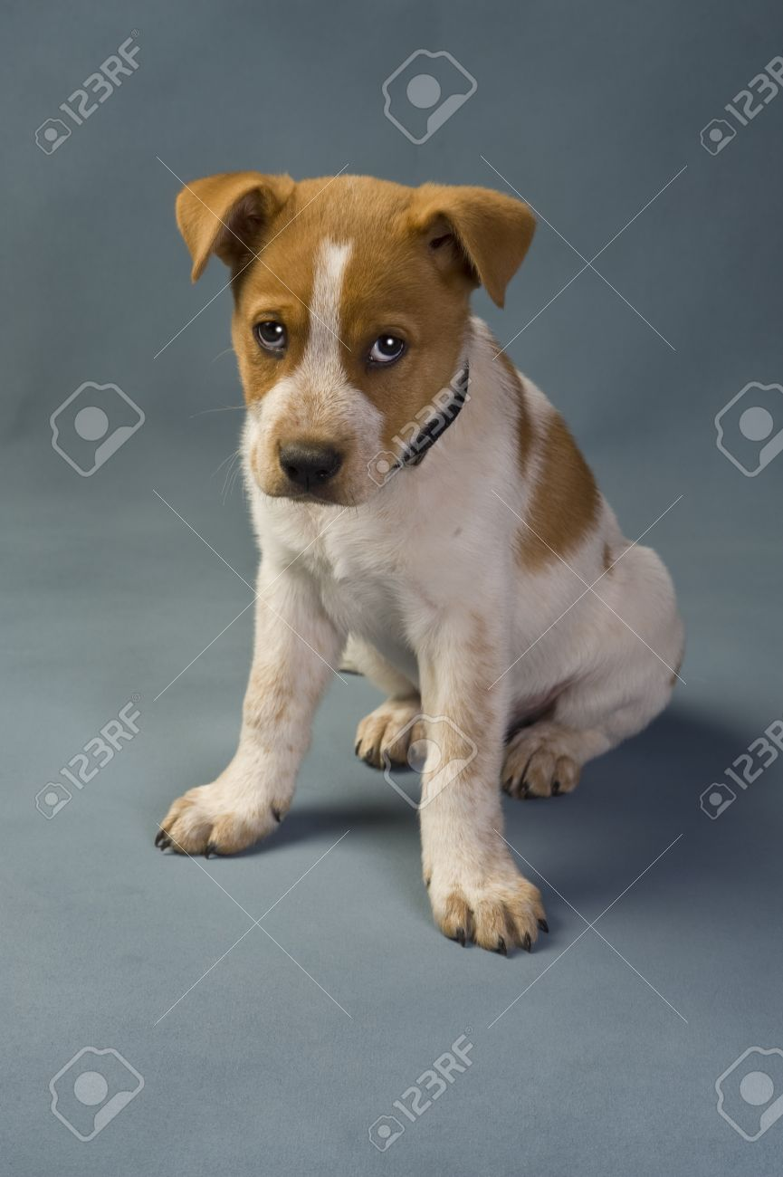 Texas Red Heeler Pup 11 Weeks Old Stock Photo Picture And Royalty