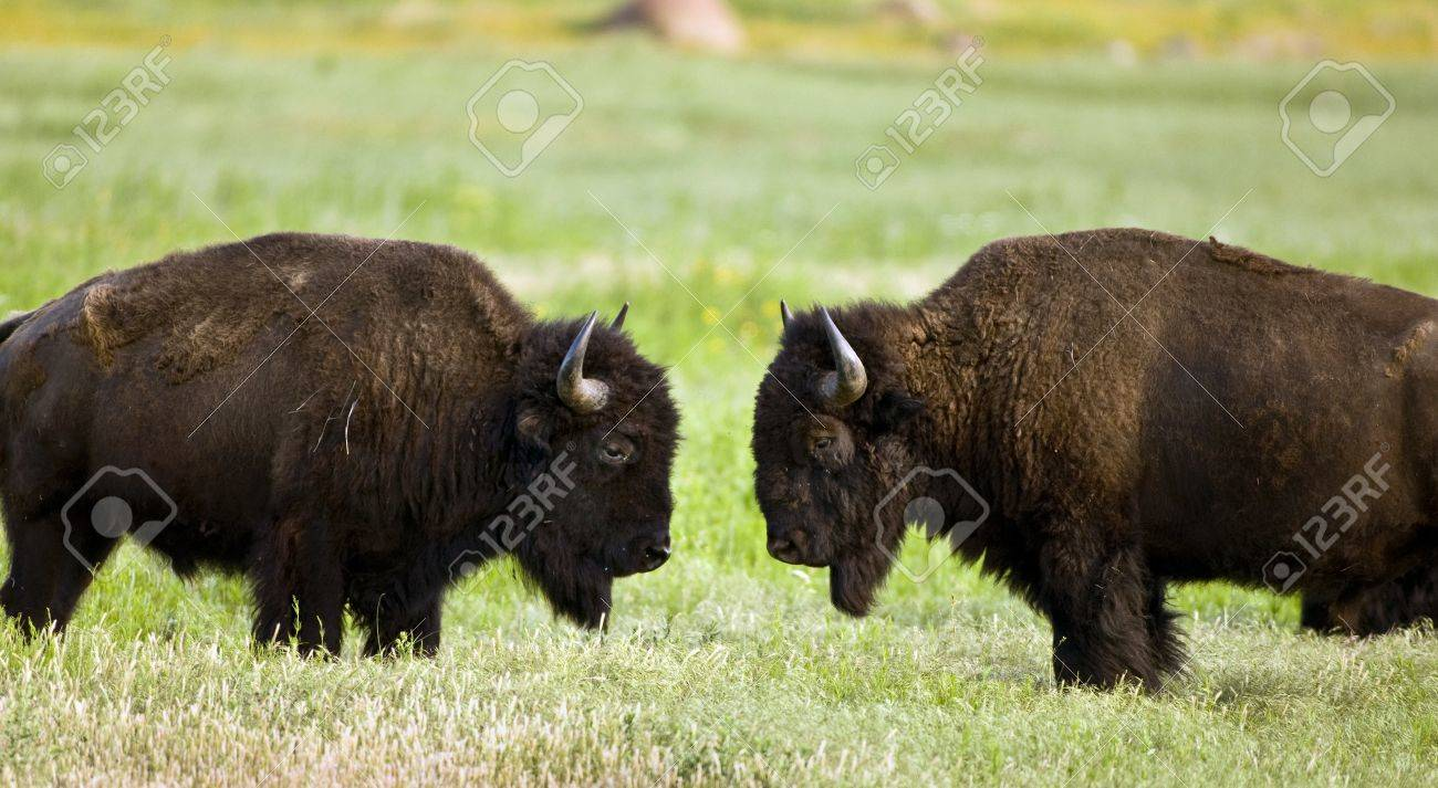 Buffalo on range outside Lawton,Oklahoma Stock Photo - 13608696