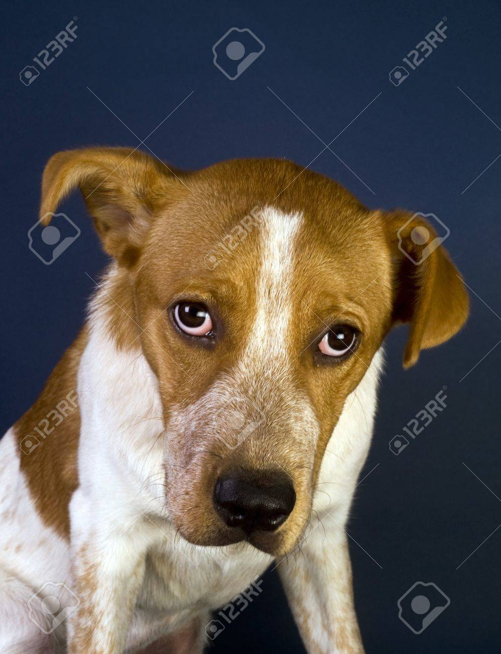 Cute Red Head Puppy. Six Months Old. Stock Photo - 13794658