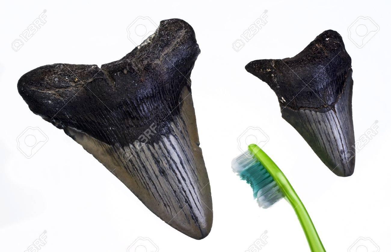 Megalondon Shark Teeth about 45 million years old Stock Photo - 14877711