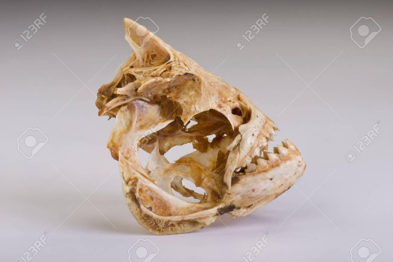 Piranha skelton from the Amazon. Stock Photo - 26549639
