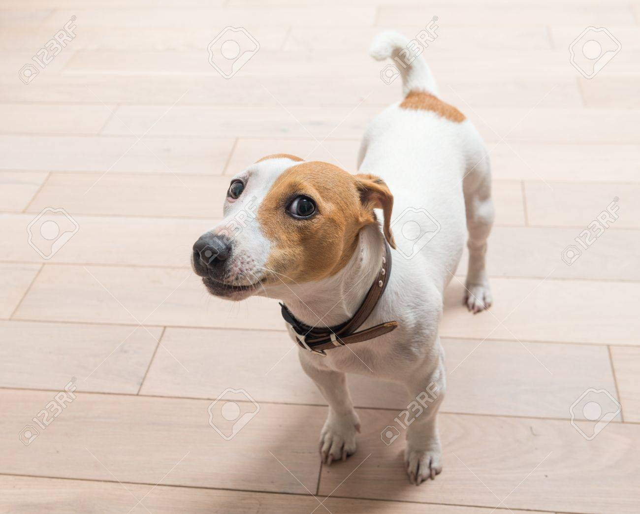 jack russell terrier 10 months old portrait at home stock photo