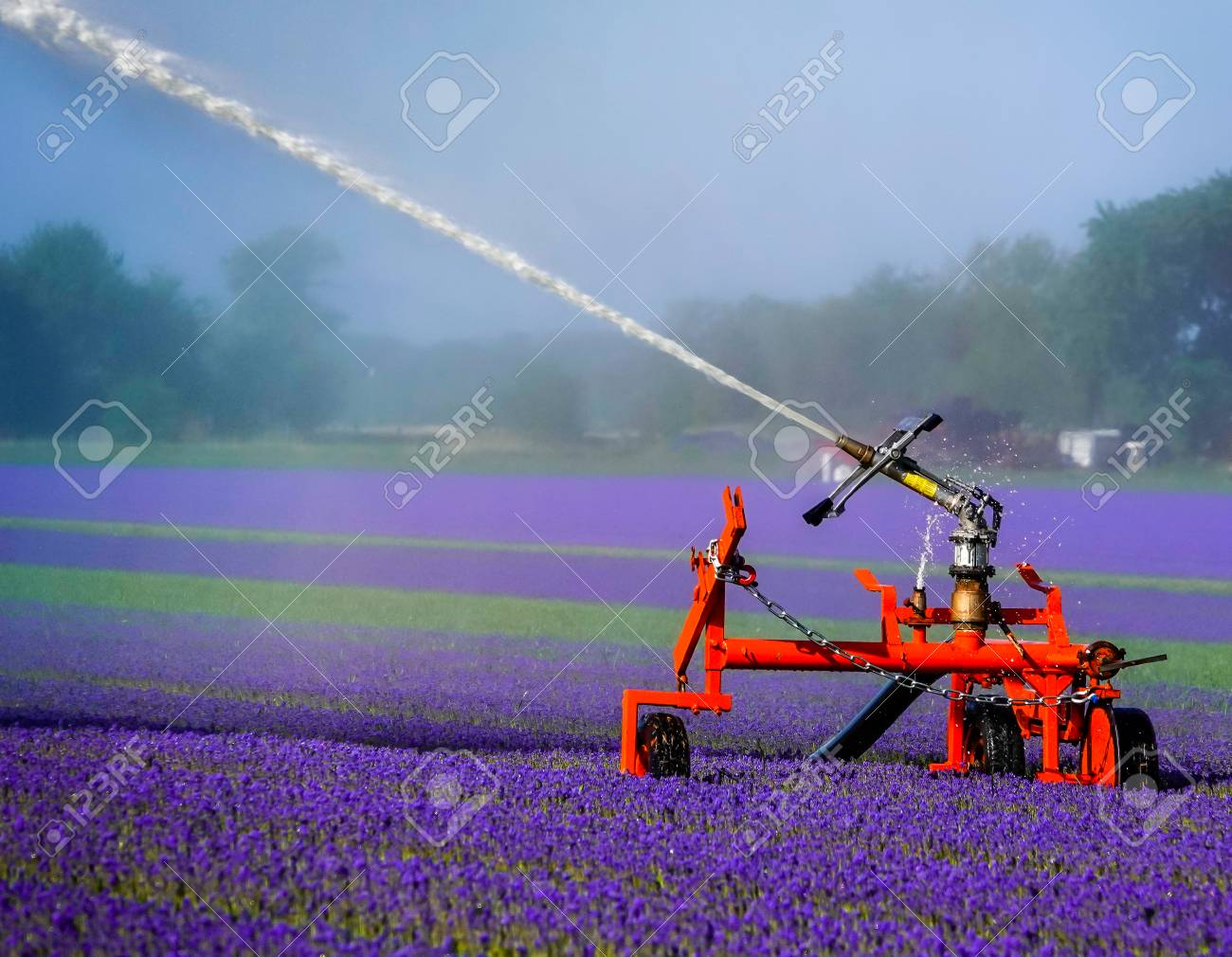 Watering A Field Of Purple Flowers Stock Photo Picture And Royalty