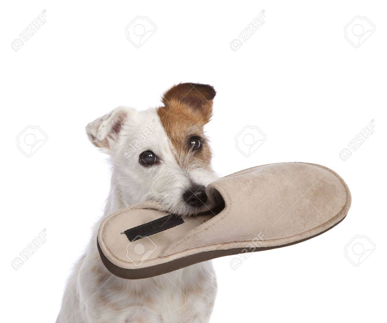 5fa34949587 isolated jack russell terrier holding shoe over white background Stock  Photo - 4916986