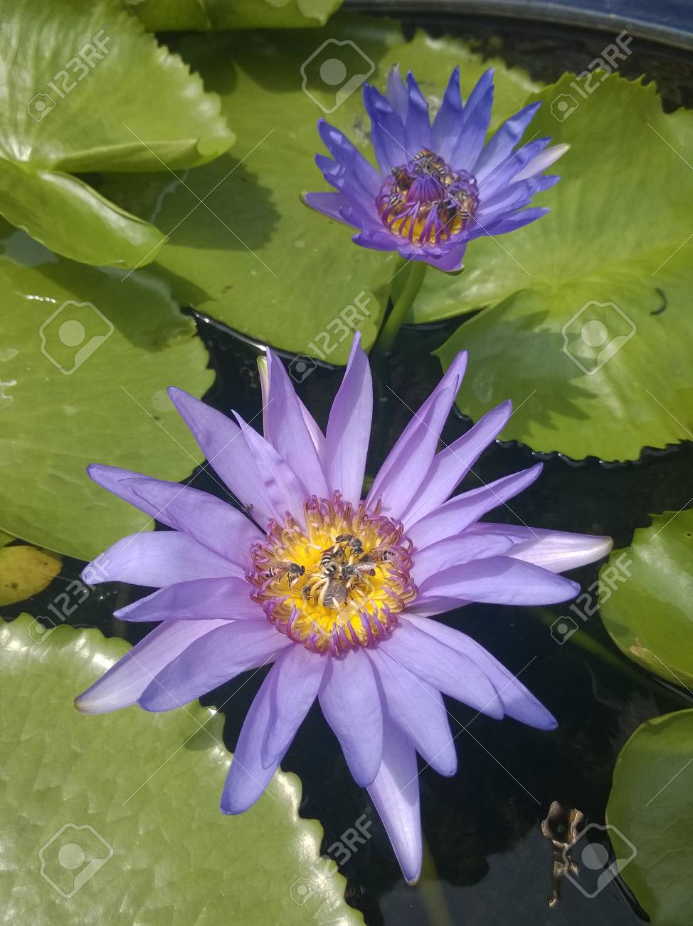 Bees On The Blue Lotus Flower Nelumbo Nucifera Bangkok Thailand