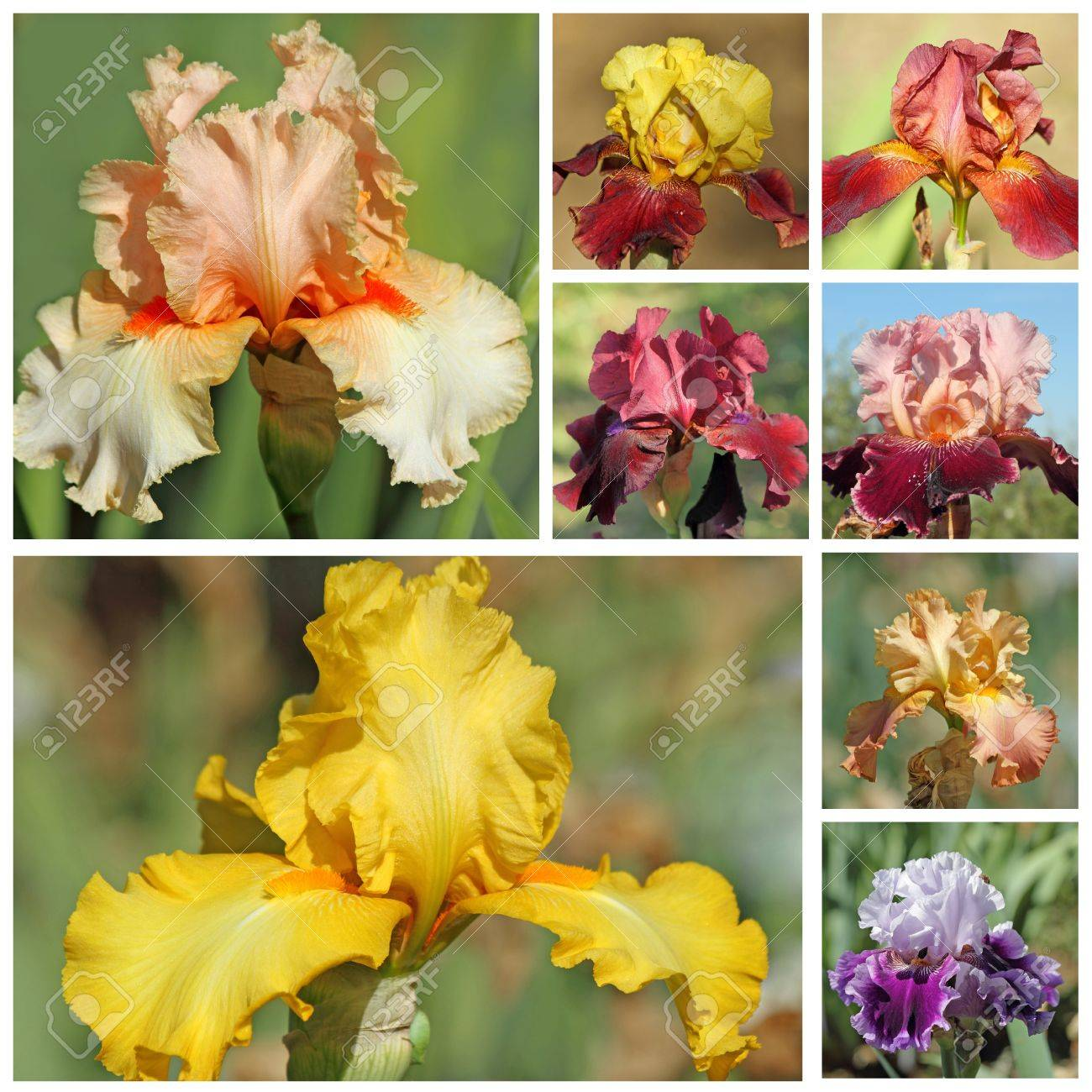 Collage with bearded iris flowers images from garden of iris collage with bearded iris flowers images from garden of iris in florence stock photo izmirmasajfo Image collections