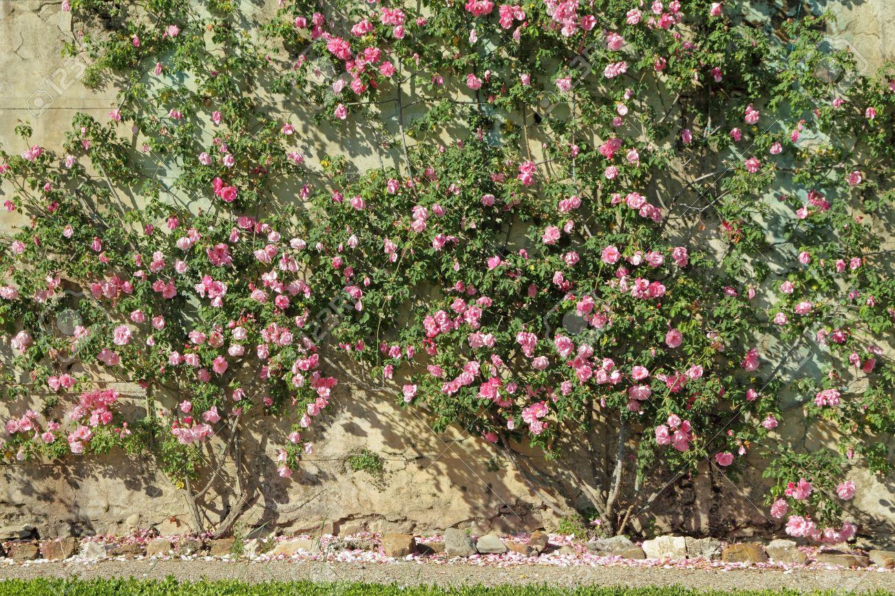 Flores De Jardín Rosa Rosa Enredadera En La Antigua Pared Toscana Italia Europa Fotos Retratos Imágenes Y Fotografía De Archivo Libres De Derecho Image 13794418