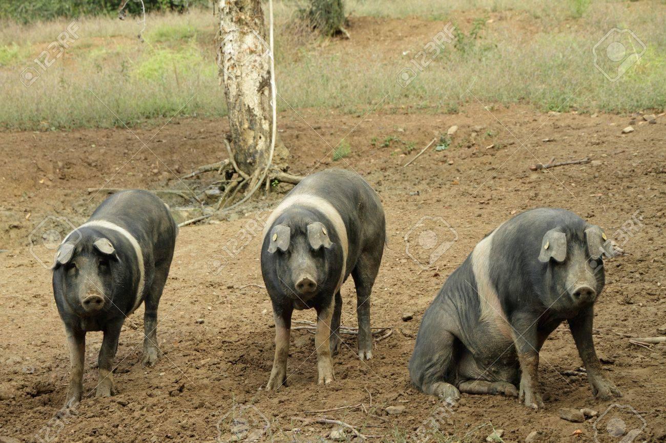 Banque d images - La Cinta senese, race très ancienne toscane de porc Cinta  signifie ceinture, cochons noirs avec une ceinture blanche célèbre pour sa  ... 7f9f1dd6a9f