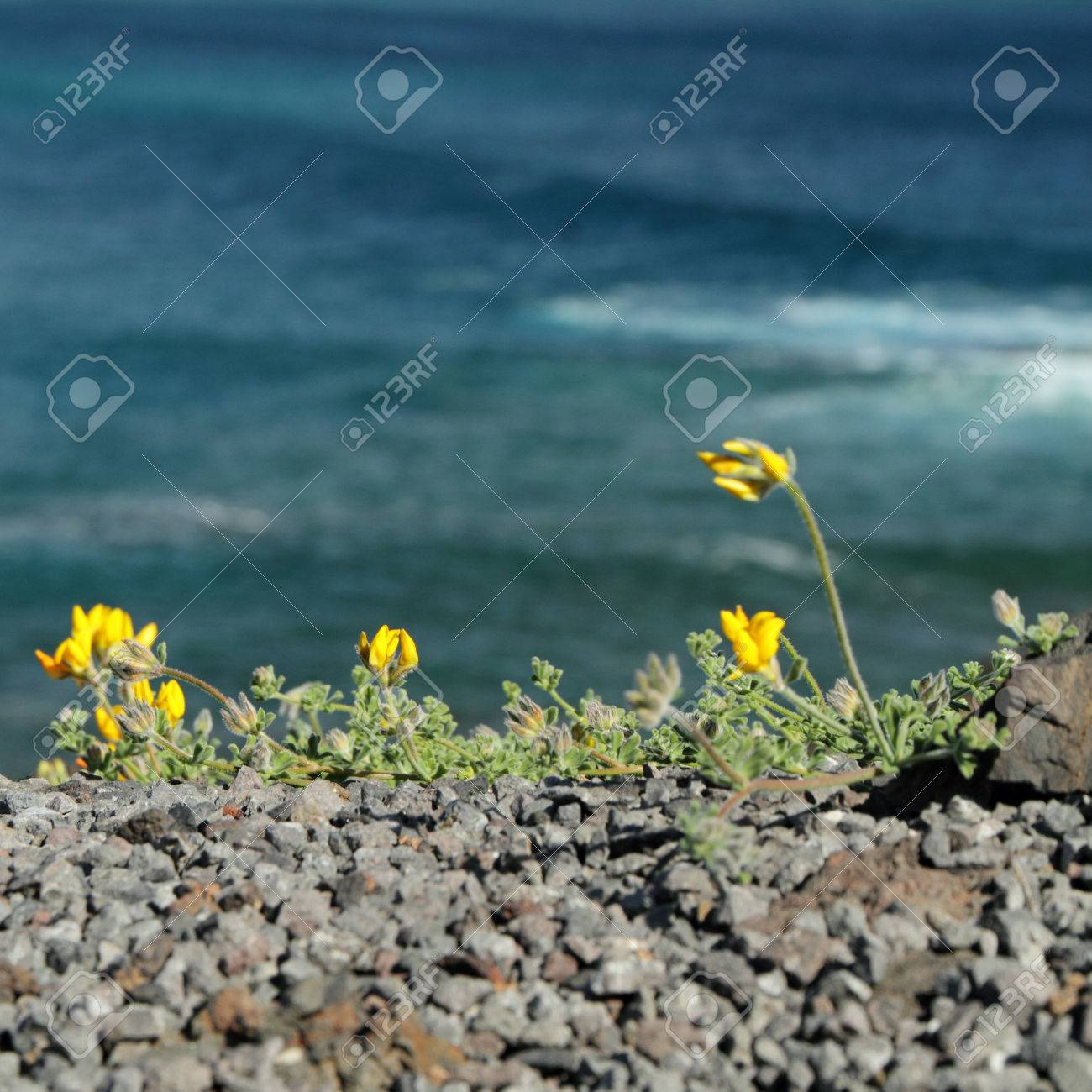 Yellow Wild Flowers On Cost In Tenerife Canary Islands Stock Photo